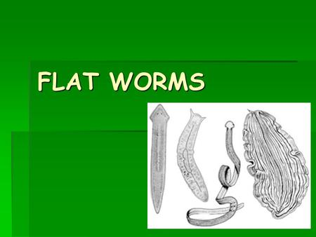 FLAT WORMS. Phylum Platyhelminthes  Simple animals with soft leaflike or ribbonlike bodies, and includes flatworms, flukes, and tapeworms  Around 20,000.