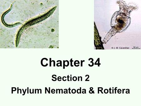 Chapter 34 Section 2 Phylum Nematoda & Rotifera. Phylum Nematoda Roundworms (pseudocoelomates) Bilaterally symmetrical 1mm-120mm (4 feet) Digestive tract.