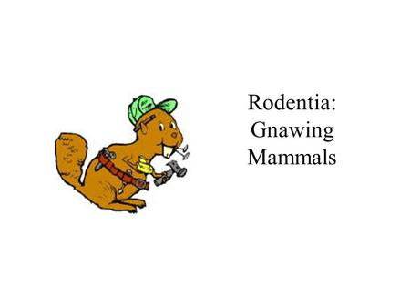 Rodentia: Gnawing Mammals. Rodentia Checklist one pair of upper and lower incisors –each enlarged, sharply beveled, ever-growing –enamel on outer surface.