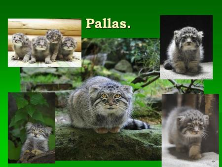 Pallas. Pallas.. The eyes are yellow, the pupils are in bright light, in contrast to domestic cat-eye pupils do not get slit shape, and stay round. On.