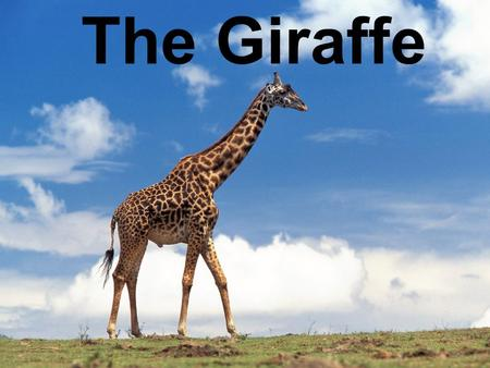 The Giraffe. What is Special about giraffes? Both male and female have horns The giraffe has the longest tail of any land mammal. They can be 8 feet long.