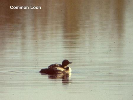 Common Loon. Photo courtesy of Doug Backlund.
