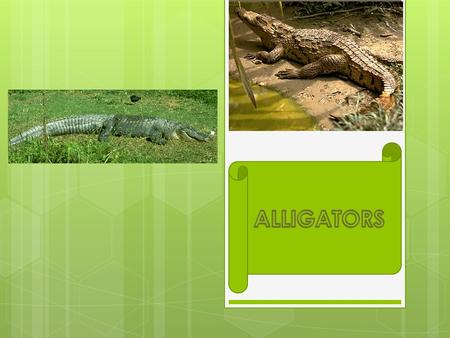 Alligators By Ewan Brooks. Where alligators live  A alligator will live in mostly lakes, swamps, and rivers along the Gulf of Mexico and on the Atlantic.
