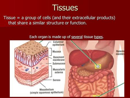 Tissues Tissue = a group of cells (and their extracellular products) that share a similar structure or function. Each organ is made up of several tissue.