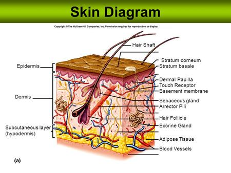 Skin Diagram Hair Shaft Stratum corneum Epidermis Stratum basale