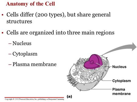 Copyright © 2003 Pearson Education, Inc. publishing as Benjamin Cummings Anatomy of the Cell Cells differ (200 types), but share general structures Cells.