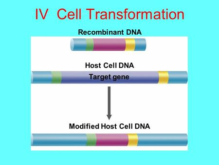 IV Cell Transformation Recombinant DNA Host Cell DNA Target gene Modified Host Cell DNA.