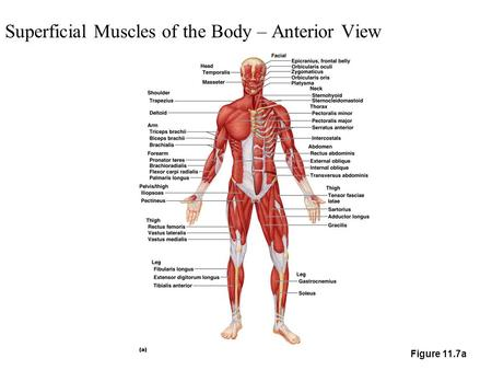 Superficial Muscles of the Body – Anterior View