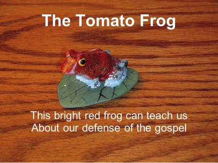 The Tomato Frog This bright red frog can teach us About our defense of the gospel.