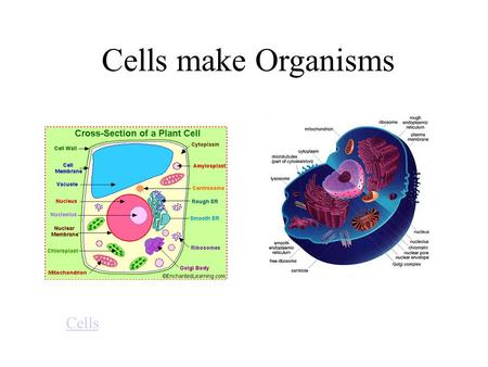 Cells make Organisms Cells. Cell wall: found in plants. It is rigid and its function is to support the cell. Cell membrane: the outside boundary of an.
