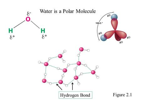 Water is a Polar Molecule Hydrogen Bond Figure 2.1.