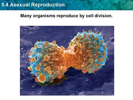 Many organisms reproduce by cell division.