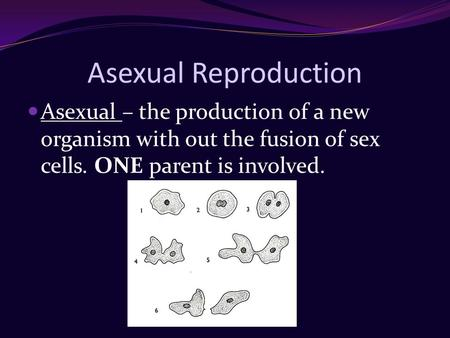 Asexual Reproduction Asexual – the production of a new organism with out the fusion of sex cells. ONE parent is involved.
