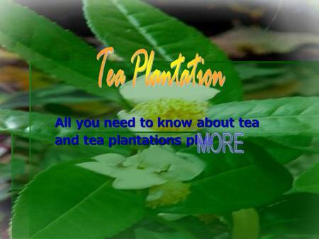 All you need to know about tea and tea plantations plus.