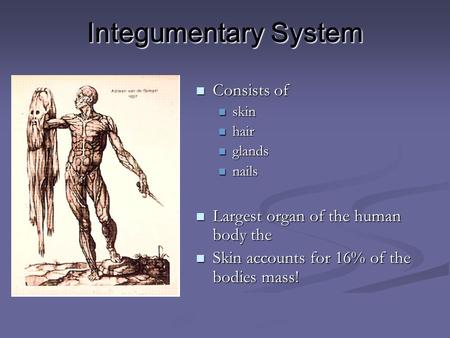 Integumentary System Consists of Consists of skin skin hair hair glands glands nails nails Largest organ of the human body the Largest organ of the human.