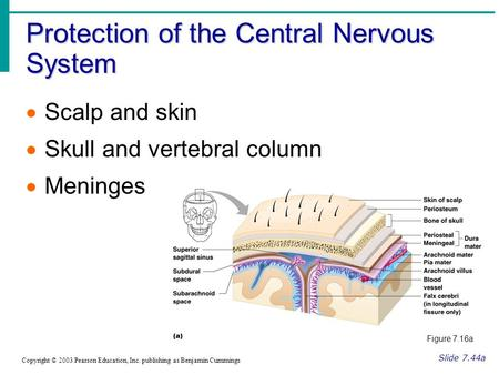 Protection of the Central Nervous System Slide 7.44a Copyright © 2003 Pearson Education, Inc. publishing as Benjamin Cummings  Scalp and skin  Skull.