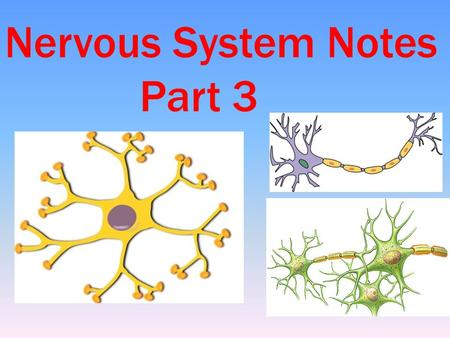 Nervous System Notes Part 3. EVEN MORE INTERESTING NERVOUS SYSTEM FACTS The human brain alone consists of about 100 billion neurons. If all these neurons.