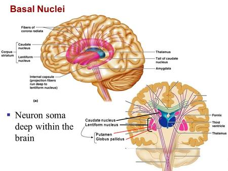 Basal Nuclei  Neuron soma deep within the brain Caudate nucleus Lentiform nucleus Putamen Globus pallidus.