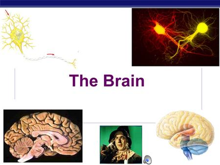 AP Biology 2005-2006 The Brain. AP Biology  Brain  coordinating centre of the NS  enclosed within the skull  surrounded by meninges – form a blood-