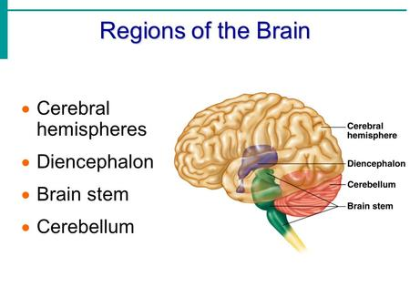Regions of the Brain  Cerebral hemispheres  Diencephalon  Brain stem  Cerebellum.