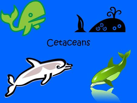 "Cetaceans. Cetacean Order Cetacea includes whales, dolphins, and porpoises. Cetacea comes from the Latin word cetus and means ""large sea animal"". Cetology."