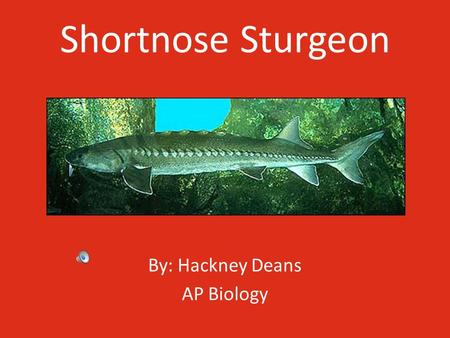 Shortnose Sturgeon By: Hackney Deans AP Biology Description of the Shortnose Sturgeon The Shortnose Sturgeon is one of the smallest species of sturgeons,