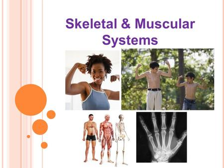 Skeletal & Muscular Systems. clavical Patella (Knee Cap) How many bones do you know?