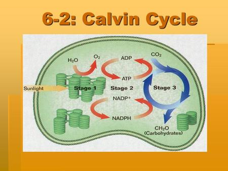 6-2: Calvin Cycle. What comes next?  In the second set of reactions of photosynthesis, plants use the energy that was stored in ATP and NADPH during.
