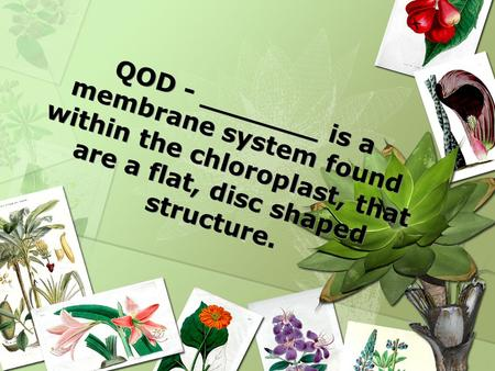 QOD - _______ is a membrane system found within the chloroplast, that are a flat, disc shaped structure.