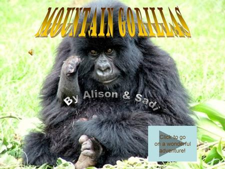 Click to go on a wonderful adventure! What does a Mountain Gorilla look like? Human looking –Hands –Nostrils –Feet Dark and has a lot of fur on the body.