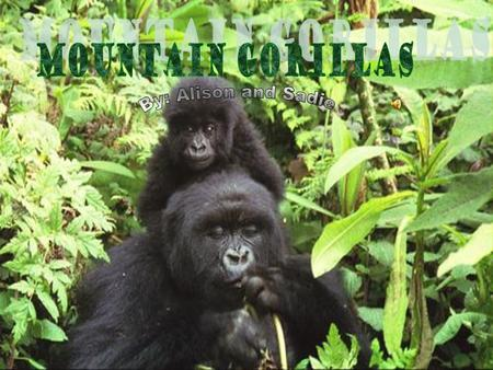 Mountain Gorillas By: Alison and Sadie.