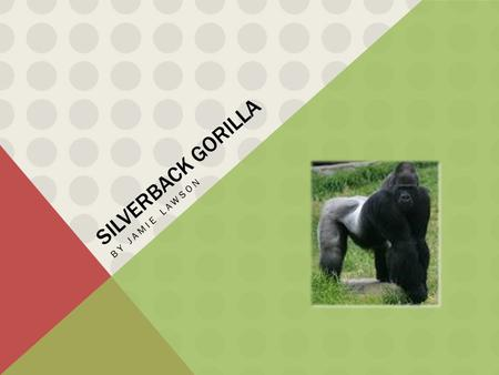 SILVERBACK GORILLA BY JAMIE LAWSON. WHAT IS A SILVERBACK GORILLA A silverback gorilla is a really strong and muscly gorilla which is also commonly known.
