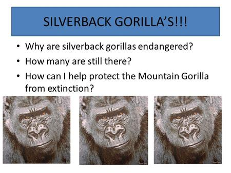 SILVERBACK GORILLA'S!!! Why are silverback gorillas endangered? How many are still there? How can I help protect the Mountain Gorilla from extinction?