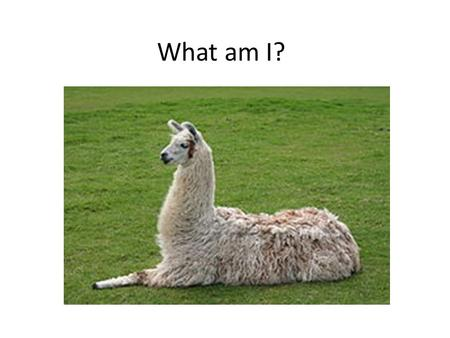 What am I?. What Are Major Differences Between Llamas and Alpacas?