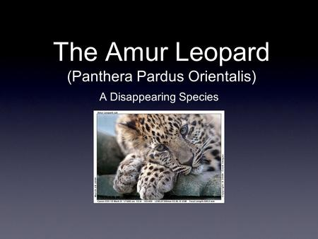 The Amur Leopard (Panthera Pardus Orientalis) A Disappearing Species.
