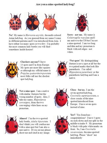 Are you a nine-spotted ladybug? No! My name is Harmonia axyridis, the multi-colored Asian ladybug. As you guessed from my name I come in different patterns.