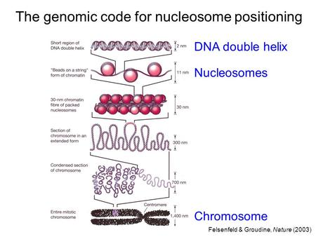 The genomic code for nucleosome positioning DNA double helix Nucleosomes Chromosome Felsenfeld & Groudine, Nature (2003)