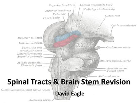 Spinal Tracts & Brain Stem Revision