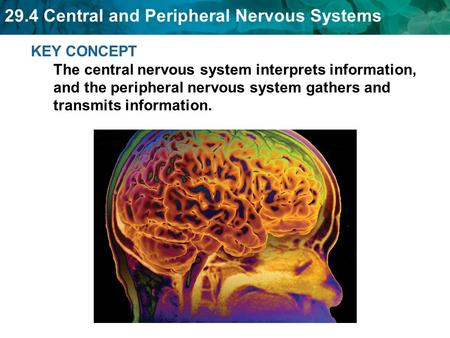 29.4 Central and Peripheral Nervous Systems KEY CONCEPT The central nervous system interprets information, and the peripheral nervous system gathers and.