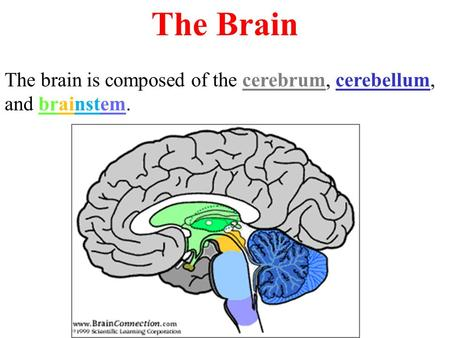 The Brain The brain is composed of the cerebrum, cerebellum, and brainstem.