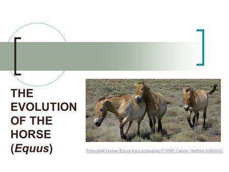 THE EVOLUTION OF THE HORSE (Equus) Przewalski's horse (Equus ferus przewalski) © WWF-Canon / Hartmut JUNGIUS.