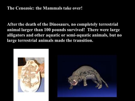 The Cenozoic: the Mammals take over! After the death of the Dinosaurs, no completely terrestrial animal larger than 100 pounds survived! There were large.