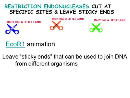 "RESTRICTION ENDONUCLEASES RESTRICTION ENDONUCLEASES CUT AT SPECIFIC SITES & LEAVE STICKY ENDS EcoR1EcoR1 animation Leave ""sticky ends"" that can be used."