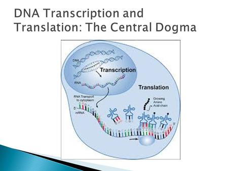  The DNA inherited by an organism leads to specific traits by directing the synthesis of proteins  DNA directs protein synthesis in two stages, called.