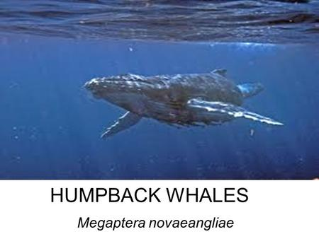 HUMPBACK WHALES Megaptera novaeangliae. Facts adults range in length from 12–16 metres (39–52 ft) and weigh approximately 36,000 kilograms (79,000 lb)