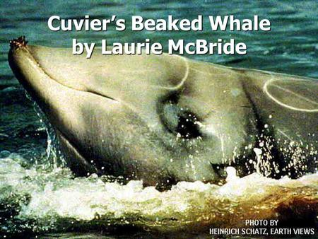Cuvier's Beaked Whale by Laurie McBride. Overview Classification Classification Habitat Habitat Physical characteristics Physical characteristics Behavior.