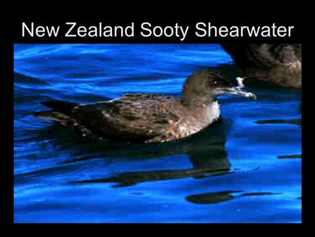 New Zealand Sooty Shearwater. Puffinus griseus The Sooty Shearwater (Puffinus griseus) is a medium-large shearwater in the seabird family Procellariidae.