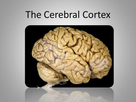 The Cerebral Cortex. Cerebral Cortex Cerebral Cortex – the interconnected neural cells that form the cerebral hemispheres This is the body's ultimate.
