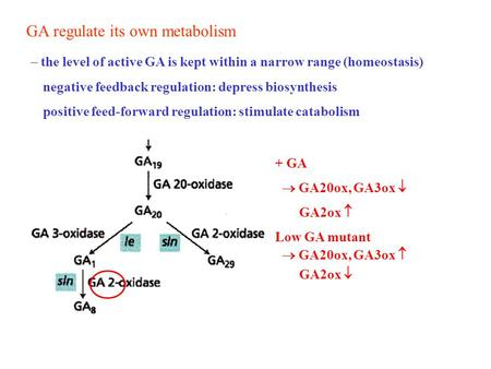 GA regulate its own metabolism  the level of active GA is kept within a narrow range (homeostasis) negative feedback regulation: depress biosynthesis.