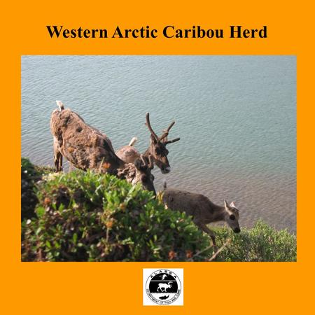 Western Arctic Caribou Herd. Population Information.